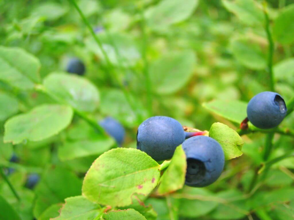 Heidelbeere, Bild: CC0